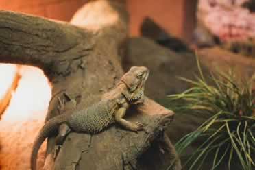 Bearded Dragons: 11 Things You Should Know (Very Important)