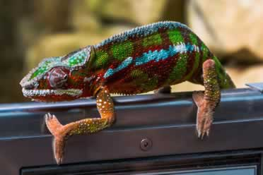 Why Is My Chameleon Not Eating Or Moving? (Important Info)